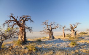 Botswana-Baobab-3