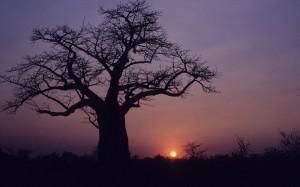 Botswana-Baobabs